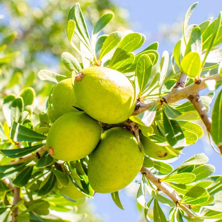 Arganöl - Frucht